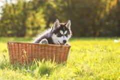 Perrito fornido en una cesta Imagen de archivo
