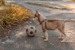 Perrito fornido que juega a fútbol imagen de archivo