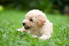 Perrito francés del caniche Imagenes de archivo