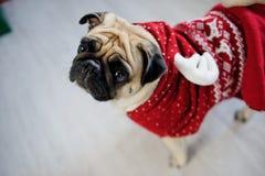 Perrito graciosamente del barro amasado de la raza en un traje del reno Foto de archivo