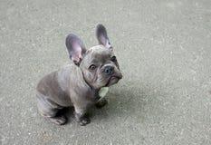 Perrito gris de un dogo francés en un fondo gris Pequeño perro lindo del bebé imagenes de archivo