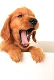 Perrito gritador Foto de archivo libre de regalías