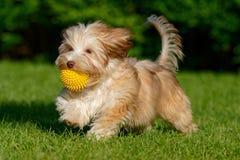 Perrito havanese juguetón que camina con su bola fotos de archivo