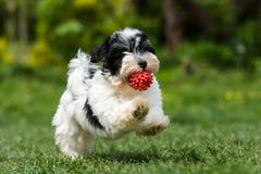 Perrito havanese juguetón que corre con su bola Fotografía de archivo