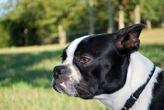 Perrito Headshot del terrier de Boston Fotos de archivo
