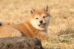 Perrito hermoso del inu de Shiba que le mira Imagen de archivo libre de regalías
