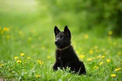 Perrito hermoso del pastor alemán del color negro Foto de archivo libre de regalías