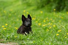 Perrito hermoso del pastor alemán del color negro mentira en GR Imágenes de archivo libres de regalías