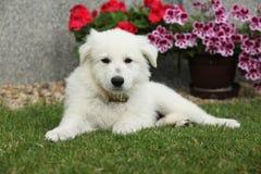 Perrito hermoso del pastor suizo blanco Dog Imagen de archivo