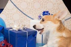 Perrito hermoso del perro del pembroke del corgi galés en un perno prisionero del ` s del Año Nuevo Fotografía de archivo libre de regalías