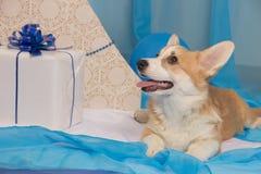 Perrito hermoso del perro del pembroke del corgi galés en un perno prisionero del ` s del Año Nuevo Imagen de archivo libre de regalías