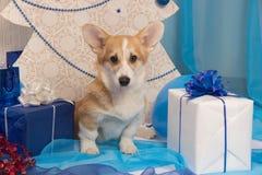 Perrito hermoso del perro del pembroke del corgi galés en un perno prisionero del ` s del Año Nuevo Foto de archivo