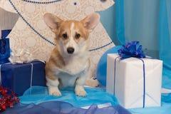 Perrito hermoso del perro del pembroke del corgi galés en un perno prisionero del ` s del Año Nuevo Imagen de archivo