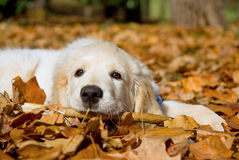 Perrito hermoso del perro perdiguero de oro que se acuesta Foto de archivo libre de regalías