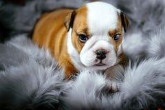 Perrito inglés del dogo Imagen de archivo libre de regalías