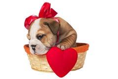 Perrito inglés del dogo para la tarjeta del día de San Valentín Imágenes de archivo libres de regalías