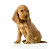 Perrito inglés del perro de aguas de cocker fotografía de archivo