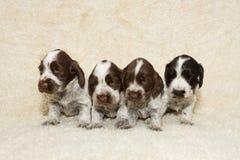Perrito inglés del perro de aguas de cocker Foto de archivo