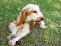 Perrito inglés del perro de aguas de cocker fotos de archivo libres de regalías