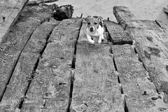 Perrito Jack Russe Imagen de archivo