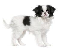 Perrito japonés de la barbilla o perro de aguas japonés imagen de archivo