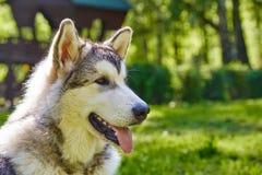 Perrito joven de la raza del trineo del malamute de Alaska que se sienta y que sonríe al aire libre Fotos de archivo libres de regalías