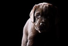 Perrito joven de Labrador del chocolate imágenes de archivo libres de regalías