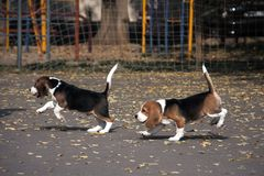 Perrito joven de un beagle imagenes de archivo