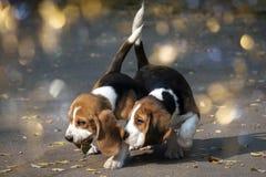 Perrito joven de un beagle imagen de archivo libre de regalías