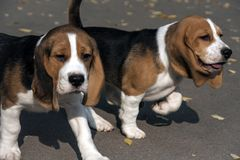 Perrito joven de un beagle foto de archivo