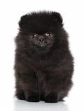 Perrito joven del perro de Pomerania Fotos de archivo