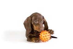 Perrito juguetón del dachshund Fotografía de archivo libre de regalías