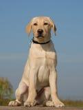 Perrito Labrador imágenes de archivo libres de regalías