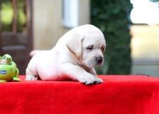 Perrito Labrador de la diversión Imágenes de archivo libres de regalías