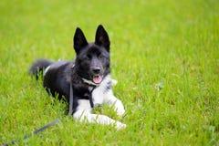 Perrito Laika en la hierba foto de archivo