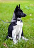 Perrito Laika en la hierba imagen de archivo