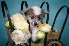 Perrito lindo con cresta chino que se sienta en un carro con las flores Imagen de archivo