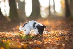 Perrito lindo de Jack Russell Terrier en la mirada adelante de änd que se coloca en hojas de un otoño fotografía de archivo