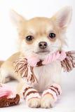 Perrito lindo de la chihuahua con el primer determinado del invierno rosado en el fondo blanco Fotos de archivo