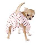 Perrito lindo de la chihuahua con las bragas divertidas Imagen de archivo libre de regalías