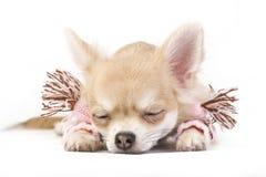 Perrito lindo de la chihuahua el dormir en una bufanda rosada Imágenes de archivo libres de regalías