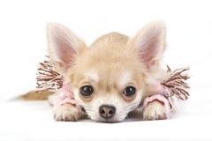 Perrito lindo de la chihuahua en una bufanda rosada Foto de archivo libre de regalías