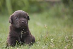 Perrito lindo de Labrador foto de archivo libre de regalías