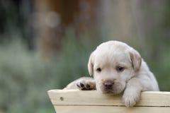 Perrito lindo de Labrador fotografía de archivo libre de regalías