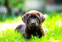Perrito lindo de Labrador que miente en sol e hierba Foto de archivo libre de regalías