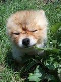 Perrito lindo de Pomeranian imagen de archivo libre de regalías