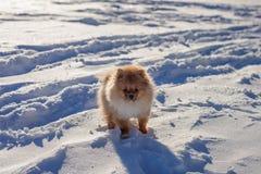 Perrito lindo de Pomeranian en un paseo en la nieve en un día de invierno Imagen de archivo libre de regalías