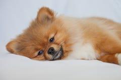 Perrito lindo de Pomeranian que duerme en backgroundlies blancos Imagen de archivo