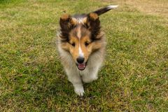 Perrito lindo de Shetland Shepperd foto de archivo libre de regalías