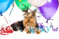 Perrito lindo de Yorkie con los globos del partido Fotos de archivo